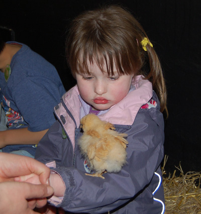 Baby chicken at Ash End House Farm
