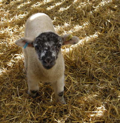 Ash End House Farm - baby lamb