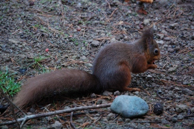 Red Squirrel at Whinfell Forest Center Parcs near the Lake Districts