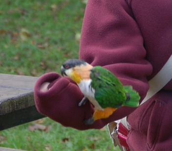 Parrot on arm at Tropical Birdland Leicestershire