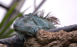 Iguana at Tropical World West Yorkshire UK