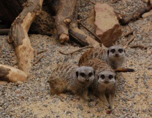Meerkats at Tropical World Roundhay Park Leeds